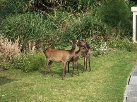 慶良間諸島阿嘉島特別天然記念物慶良間鹿
